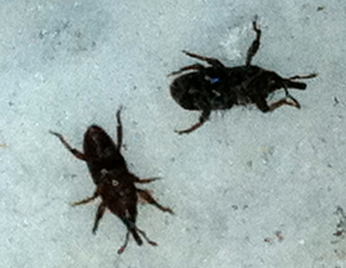 Hard Shell Bugs That Fly Furthermore Grain Weevils 4 In Addition