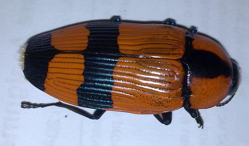 Jewel Beetle from Australia: Themognatha westwoodi we ...