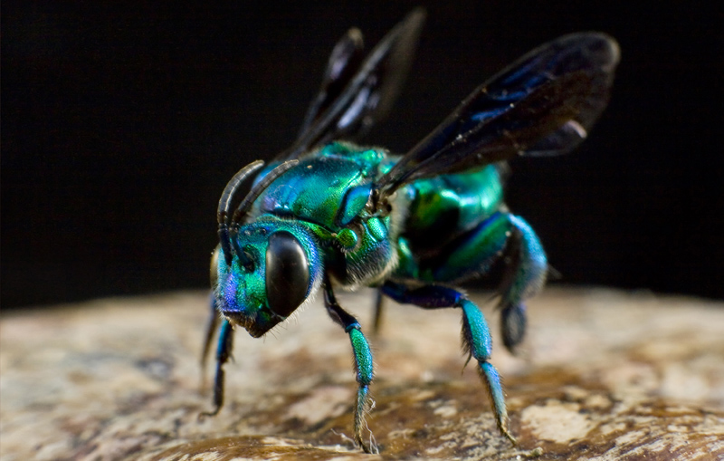 Orchid Bee From Guyana What S That Bug