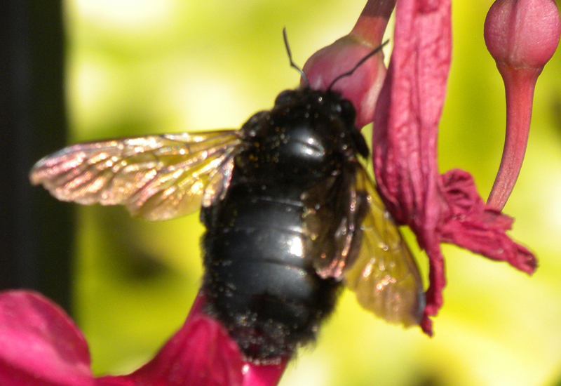 Female Sonoran Carpenter Bee From Hawaii What S That Bug