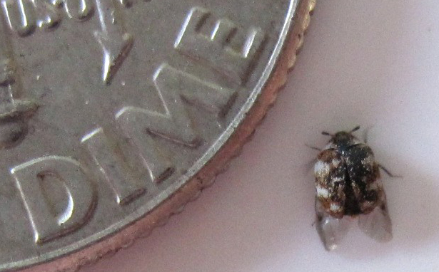 Gray Bug On Bed : What s that bug carpet beetle maybe
