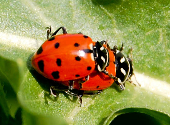 Ohio State Insect Lady bug archives - page 8 of