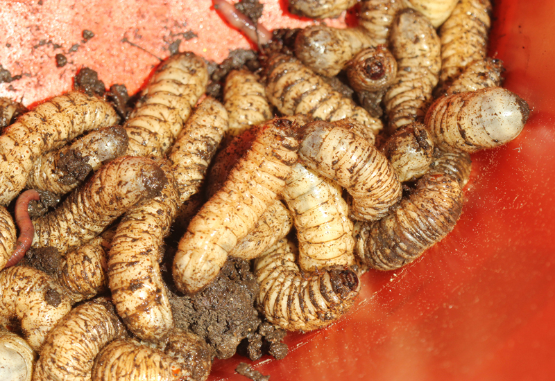 how to kill maggots in compost