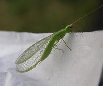 Green Flying Insect With Transparent Wings Alleged lacewing bite ...