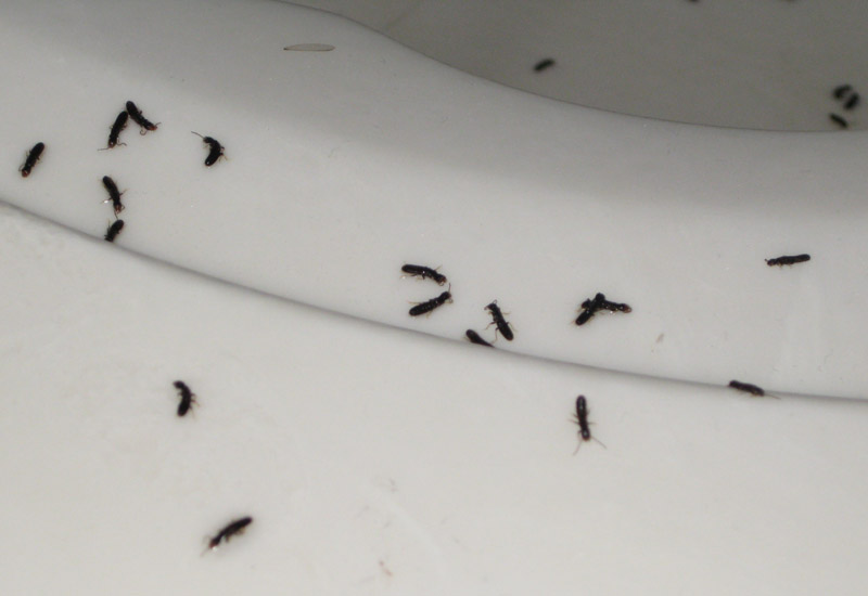 Little bugs that look like ants with wings