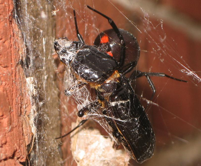 Black Widow snares Bess Beetle - What's That Bug?