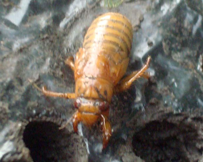 cicada nymph - photo #29