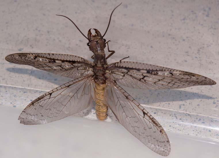 Female Dobsonfly America S New Top Model What S That Bug