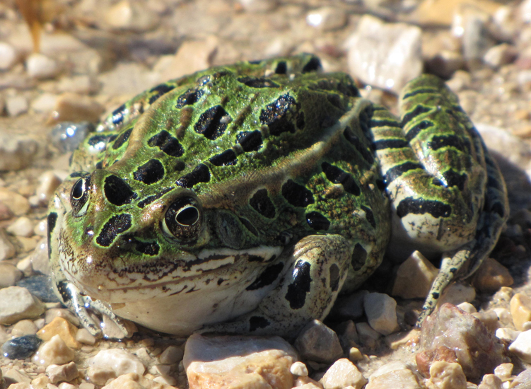 Northern leopard frog eating - photo#1
