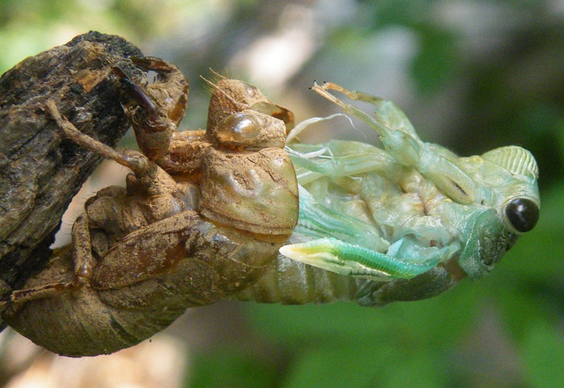 Molting Cicada Photo Makes Local News What S That Bug