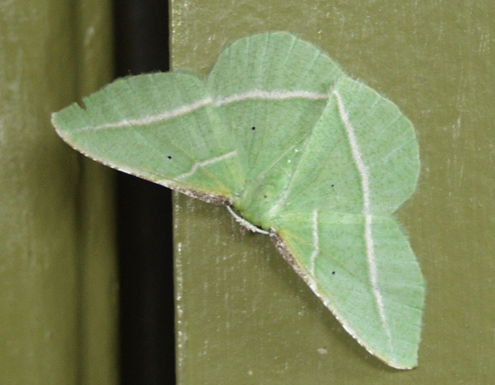 Emerald Moth On The Front Door What S That Bug