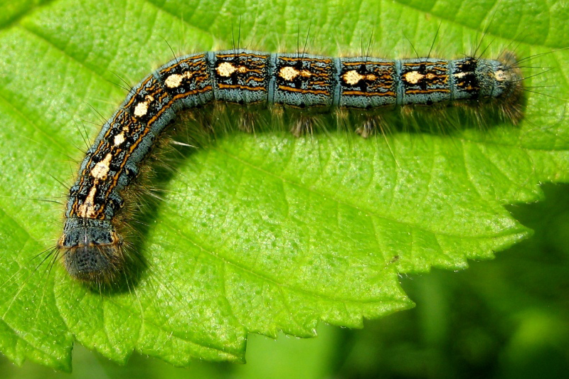 General Chat 2015 - Page 6 Forest_tent_caterpillar_kt