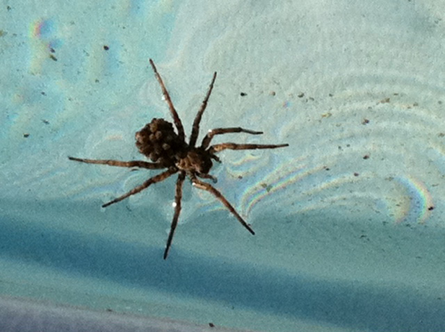 Wolf Spider And Brood Walk On Water What S That Bug