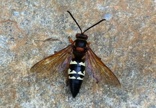 Cicada Killer Wasps Archives Page 9 Of 21 What S That Bug