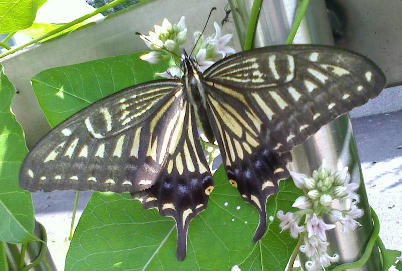 fluturi coreeni Citrus_swallowtail_south_korea_sarah