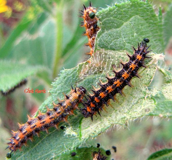 Moth Caterpillar Identification Chart: Metamorphosis Of A Crescent Butterfly