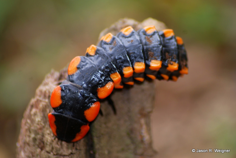 Firefly Larva from Bolivia - What's That Bug?