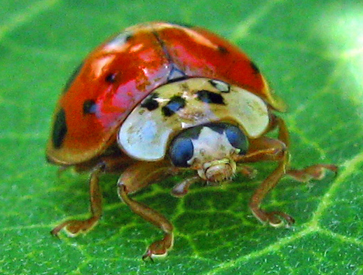 Lady asian beetles lifespan
