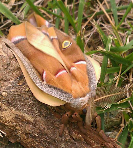 Newly Metamorphosed Polyphemus Moth - What's That Bug?