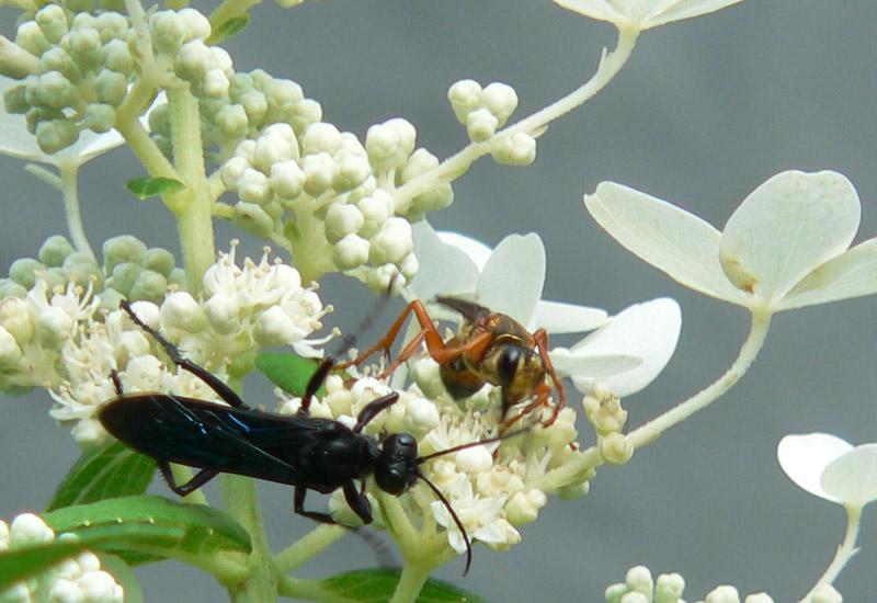 Types of black wasps - photo#23