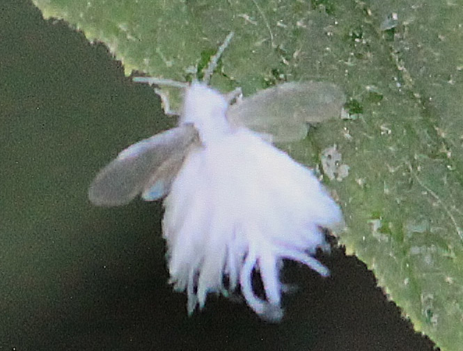 Baby Woolly Aphid This is a woolly aphid in the subfamily    Wooly Aphid