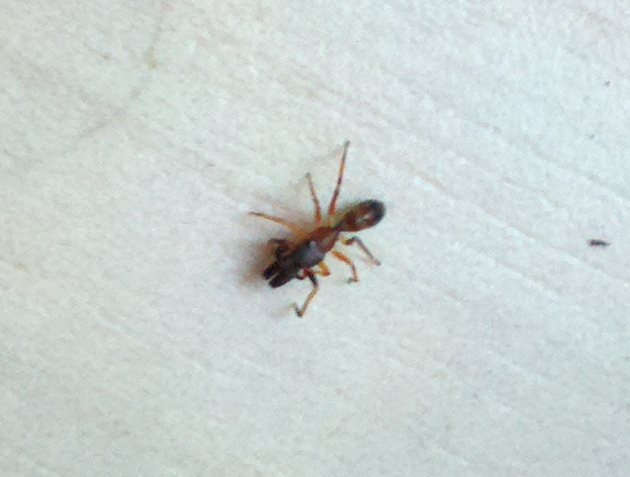 Ant Mimic Jumping Spider What S That Bug