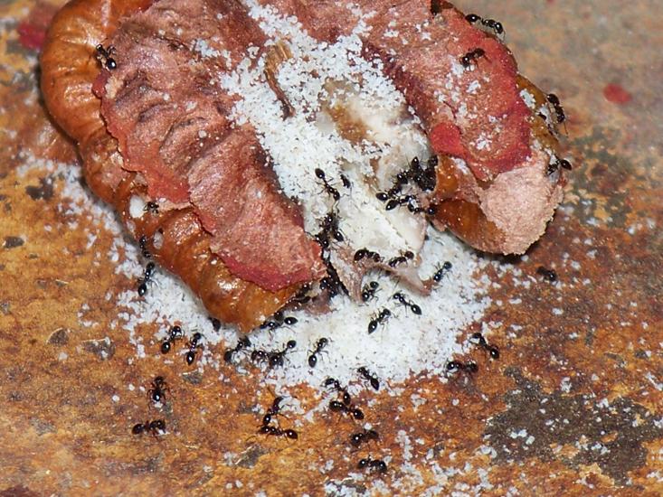 Maggots In Baby Food
