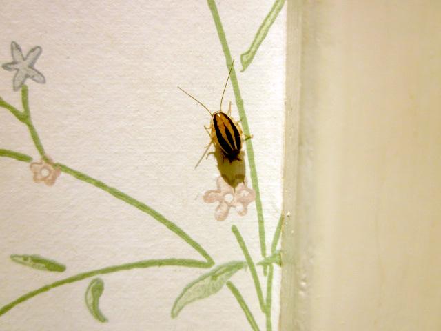 cockroach what 39 s that bug. Black Bedroom Furniture Sets. Home Design Ideas