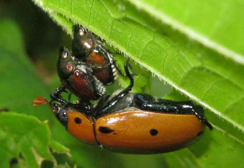 attempted interspecies mating   mating japanese beetles