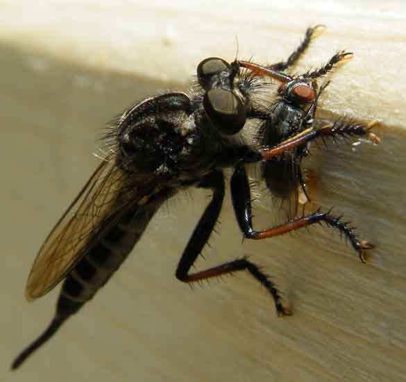 horse fly lifespan
