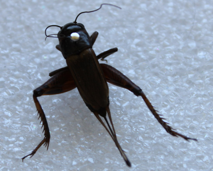 Alabama black beetle pictures — photo 1