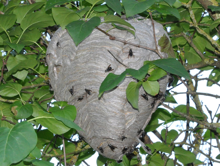 We've just noticed a large (2.5 ft?) hornets' nest hanging in a ...