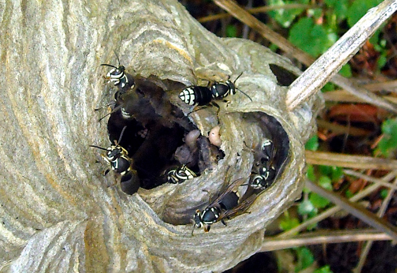 Hornet Nest With Larvae What S That Bug