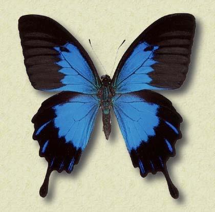 Blue Mountain Swallowtail - What's That Bug?