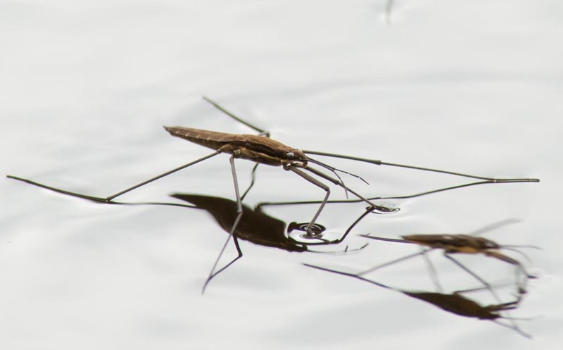 Water Strider Habitat Water Striders