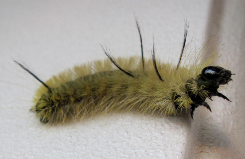 American Dagger Caterpillar Michigan