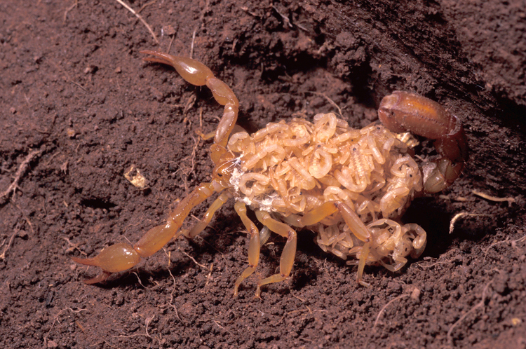 What Does A Bark Scorpion Sting Look Like