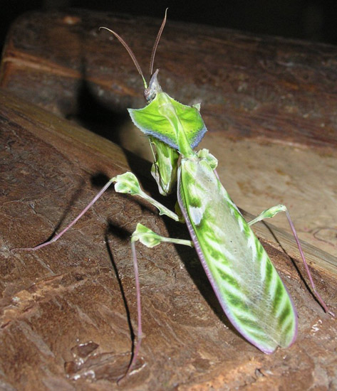 Devil's Flower Mantis from Tanzania - What's That Bug?