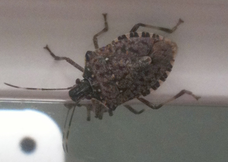 Brown Marmorated Stink Bug What S That  Bugs In My House. Bugs In My House   45degreesdesign com