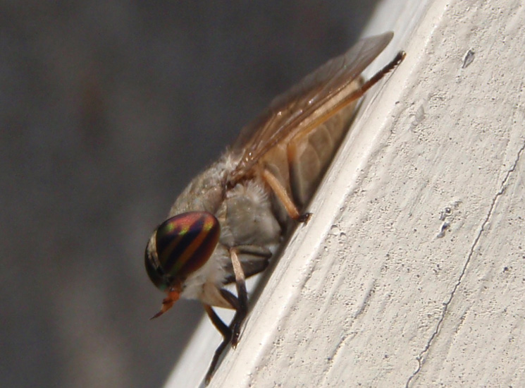 how to avoid horse flies