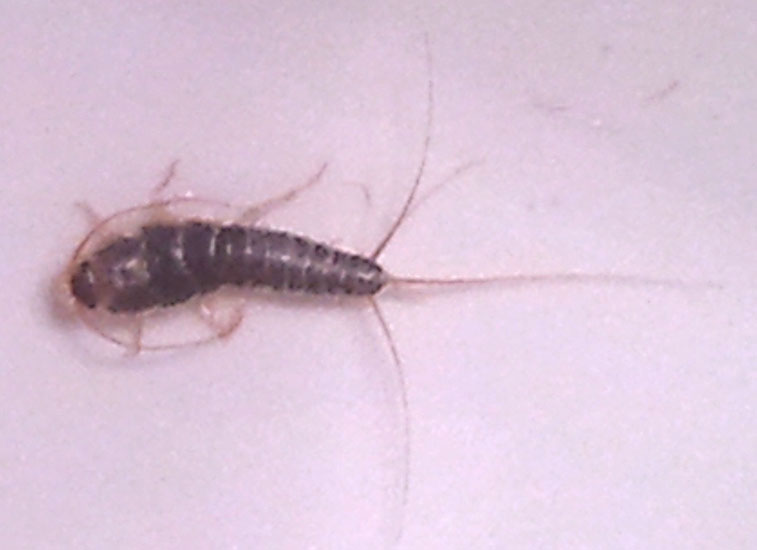 silverfish   what s that bug