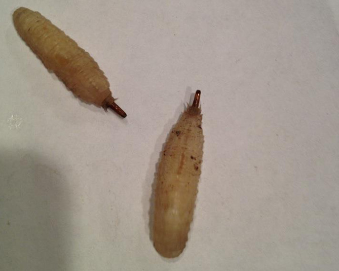 Fly Larvae We Believe What S That Bug