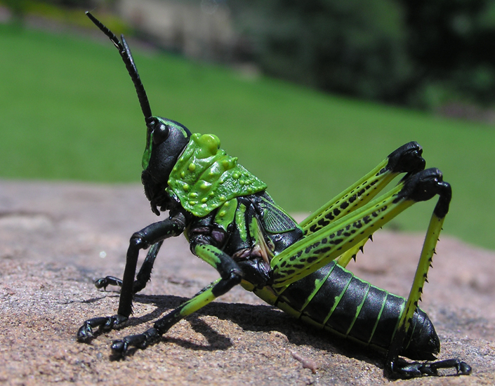 Herd of Toxic Milkweed Grasshoppers hatch in South Africa