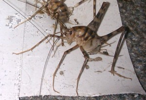 camel crickets infest basement in new york what 39 s that bug