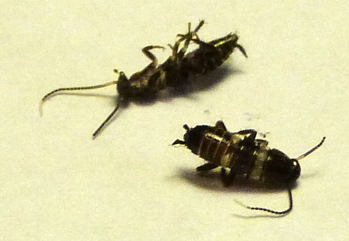 Black cockroaches with yellow stripe