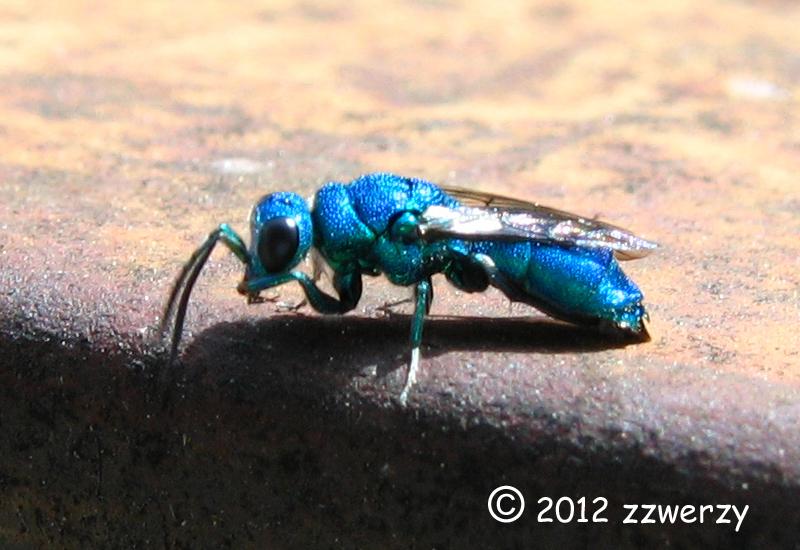Blue Jacket Bug Cfulmu
