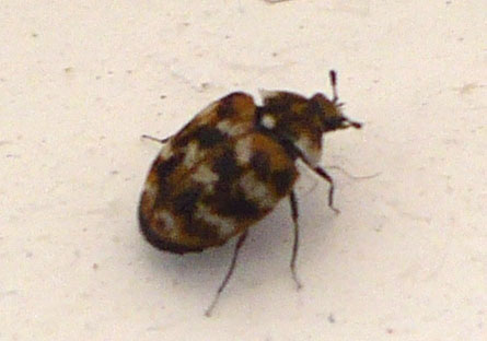 do carpet beetles have wings – Meze Blog