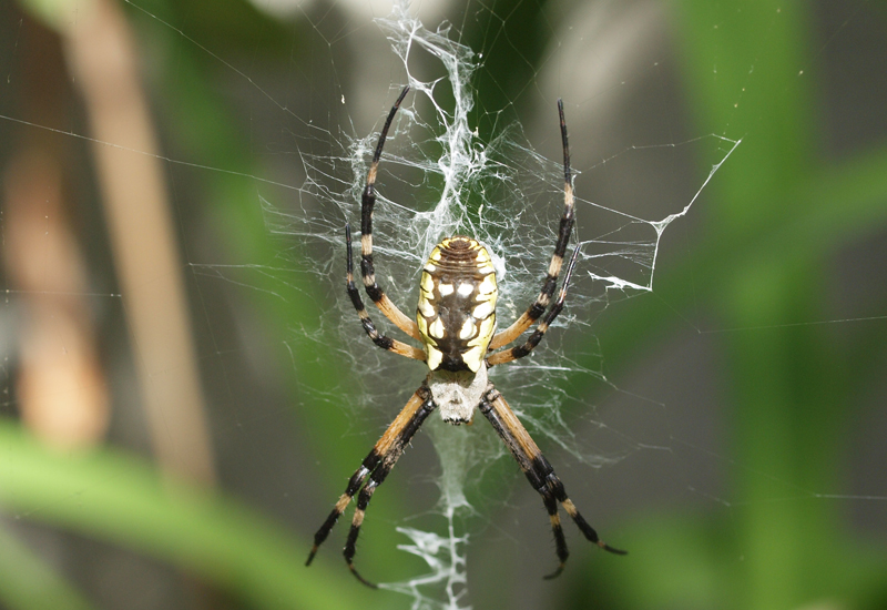 Writing spider and egg sac what 39 s that bug for Garden spider egg sac