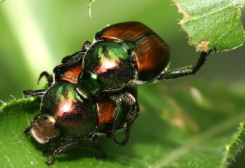 Asian Beetles 107