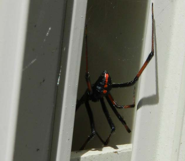Rare Albino Black Widow Spider